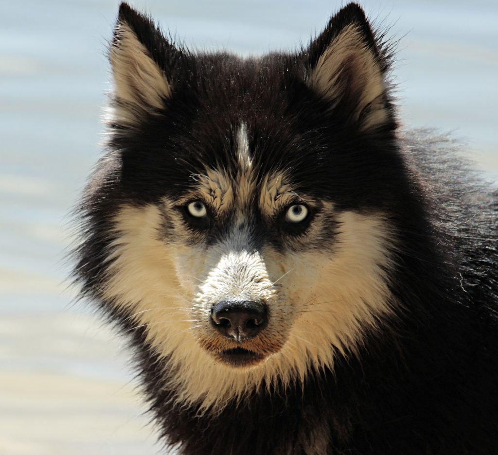 A husky, an example of the different dog breeds in the real world.