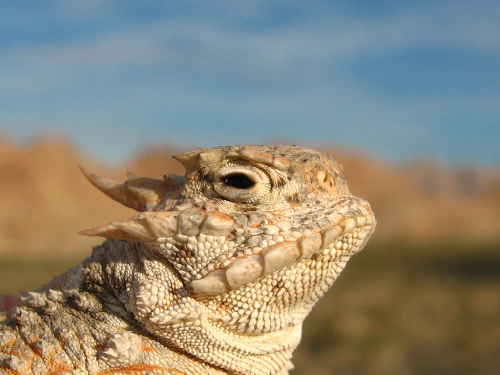 The horned lizard. Some of these are capable of shooting blood out of their mouths.