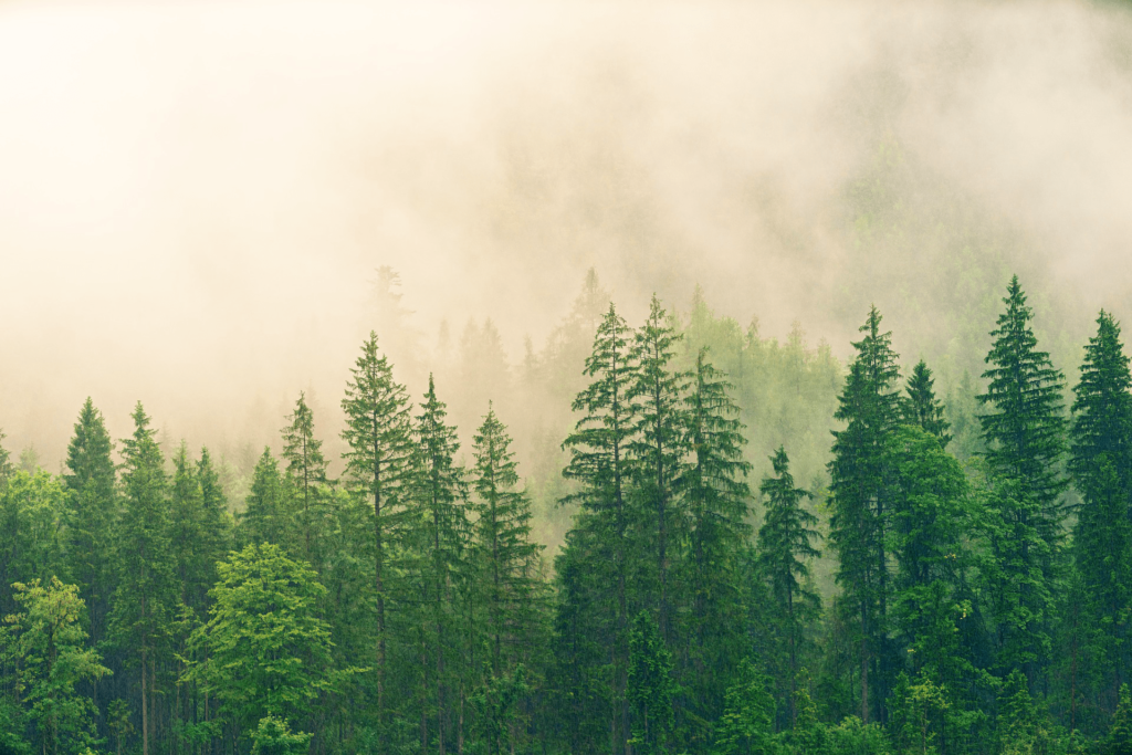 A conifer forest, representing the Krum Fir.